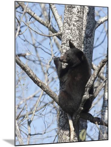 Black Bear (Ursus Americanus) Sitting in a Tree, Vince Shute Wildlife Sanctuary, Minnesota, USA-Cheryl Ertelt-Mounted Photographic Print