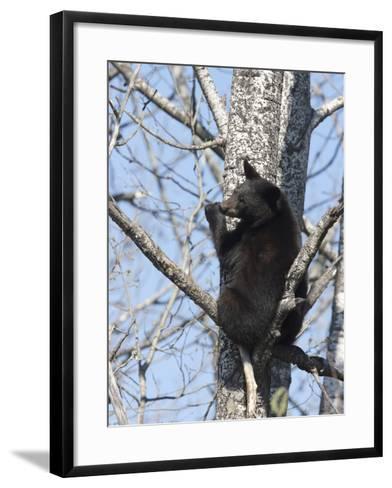 Black Bear (Ursus Americanus) Sitting in a Tree, Vince Shute Wildlife Sanctuary, Minnesota, USA-Cheryl Ertelt-Framed Art Print