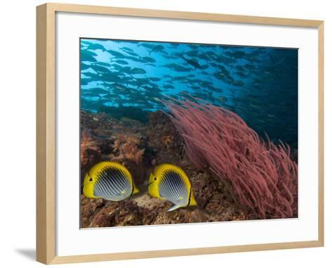 Coral Reef Scene with Schooling Jacks in the Background, Red Alcyonarian Corals-David Fleetham-Framed Art Print
