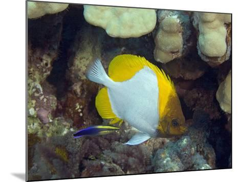 Pyramid Butterflyfish (Hemitaurichthys Polylepis) and an Endemic Hawaiian Cleaner Wrasse-David Fleetham-Mounted Photographic Print