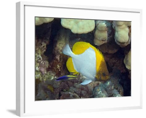 Pyramid Butterflyfish (Hemitaurichthys Polylepis) and an Endemic Hawaiian Cleaner Wrasse-David Fleetham-Framed Art Print