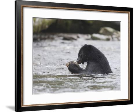 Black Bear (Ursus Americanus) Sitting in a Stream Eating a Salmon it Just Caught, British Columbia-Cheryl Ertelt-Framed Art Print