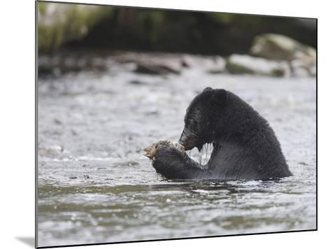 Black Bear (Ursus Americanus) Sitting in a Stream Eating a Salmon it Just Caught, British Columbia-Cheryl Ertelt-Mounted Photographic Print