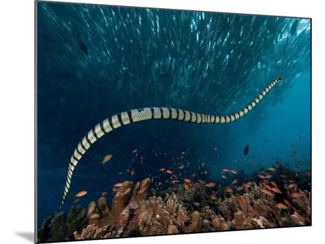 The Banded or Yellow-Lipped Sea Krait Swimming Among Fish Schools over Coral Reef-David Fleetham-Mounted Photographic Print