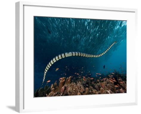 The Banded or Yellow-Lipped Sea Krait Swimming Among Fish Schools over Coral Reef-David Fleetham-Framed Art Print