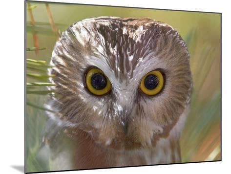 Northern Saw-Whet Owl Head-Richard Ettlinger-Mounted Photographic Print