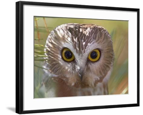 Northern Saw-Whet Owl Head-Richard Ettlinger-Framed Art Print