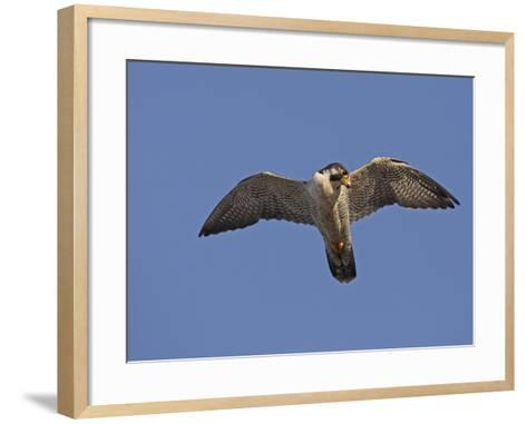 Peregrine Falcon Flying (Falco Peregrinus)-Richard Ettlinger-Framed Art Print