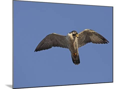 Peregrine Falcon Flying (Falco Peregrinus)-Richard Ettlinger-Mounted Photographic Print