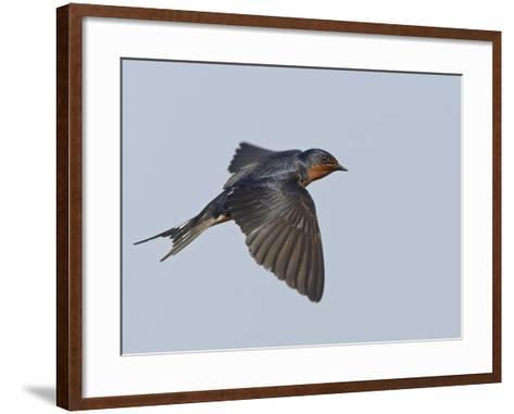 Tree Swallow in Flight-Richard Ettlinger-Framed Art Print