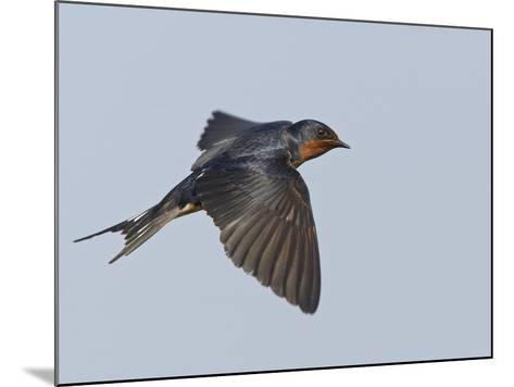 Tree Swallow in Flight-Richard Ettlinger-Mounted Photographic Print