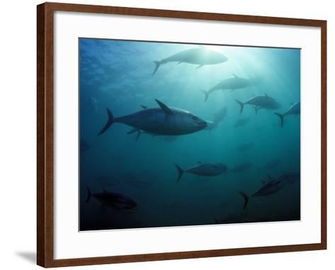 Southern Bluefin Tuna (Thunnus Maccoyii) Circle in Holding Pen Off Port Lincoln, South Australia-David Fleetham-Framed Art Print