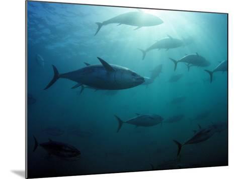 Southern Bluefin Tuna (Thunnus Maccoyii) Circle in Holding Pen Off Port Lincoln, South Australia-David Fleetham-Mounted Photographic Print