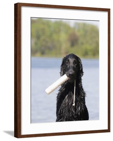 Flat-Coated Retriever with an Object Retrieved from Water, MR-Cheryl Ertelt-Framed Art Print