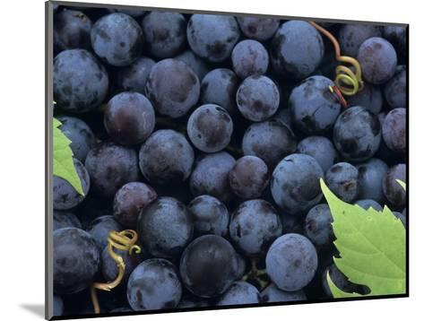 A Harvest of Juicy Concord Grapes (Vitis Labrusca)-Wally Eberhart-Mounted Photographic Print