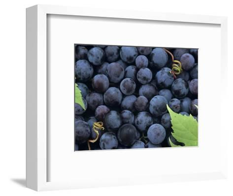A Harvest of Juicy Concord Grapes (Vitis Labrusca)-Wally Eberhart-Framed Art Print