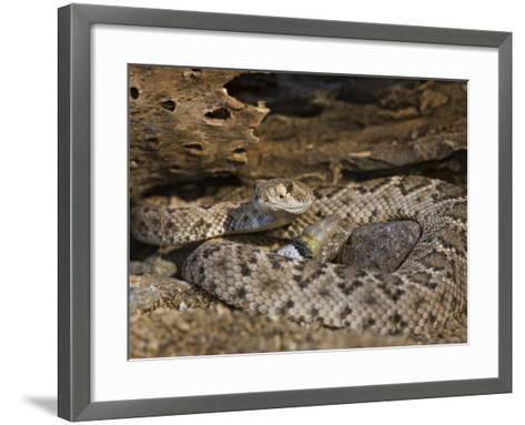 A Coiled Western Diamondback Rattlesnake (Crotalus Atrox), Madera Canyon, Arizona, USA-Don Grall-Framed Art Print