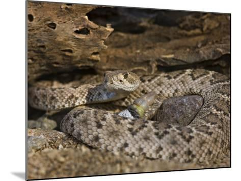 A Coiled Western Diamondback Rattlesnake (Crotalus Atrox), Madera Canyon, Arizona, USA-Don Grall-Mounted Photographic Print