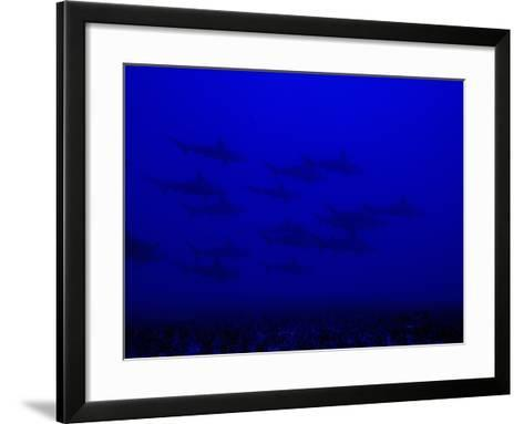 School of Scalloped Hammerhead Sharks (Sphyrna Lewini), Molokai, Hawaii, USA-David Fleetham-Framed Art Print