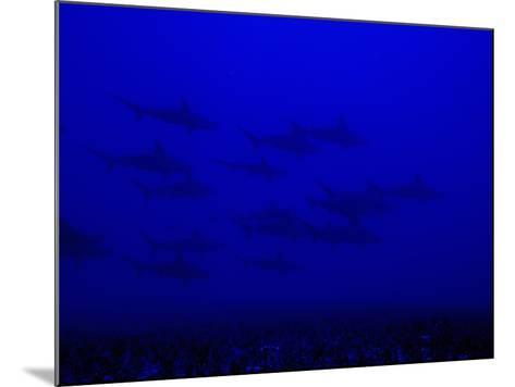 School of Scalloped Hammerhead Sharks (Sphyrna Lewini), Molokai, Hawaii, USA-David Fleetham-Mounted Photographic Print