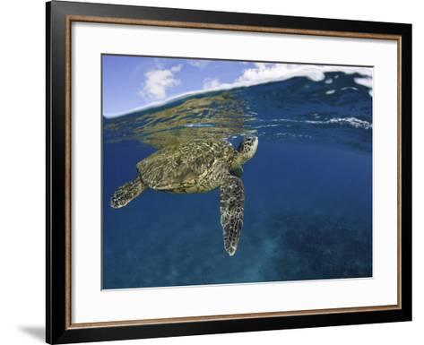 A Green Sea Turtle (Chelonia Mydas) Lifts its Head to the Surface for a Breath-David Fleetham-Framed Art Print