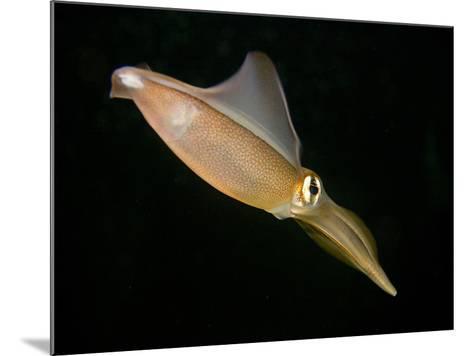 Southern Squid Swimming (Sepioteuthis Australis), Australia-David Fleetham-Mounted Photographic Print