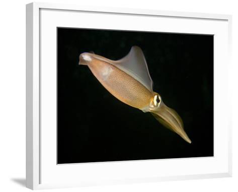 Southern Squid Swimming (Sepioteuthis Australis), Australia-David Fleetham-Framed Art Print