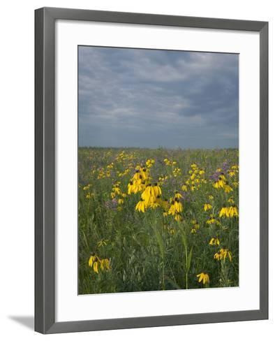 Coneflowers in Native Tallgrass Prairie under Gray Sky-Clint Farlinger-Framed Art Print
