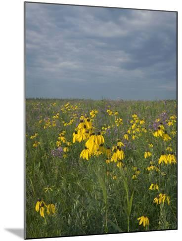 Coneflowers in Native Tallgrass Prairie under Gray Sky-Clint Farlinger-Mounted Photographic Print