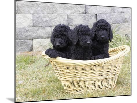 Standard Poodle Puppies 8 Weeks Old-Cheryl Ertelt-Mounted Photographic Print