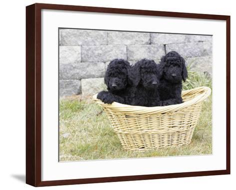 Standard Poodle Puppies 8 Weeks Old-Cheryl Ertelt-Framed Art Print