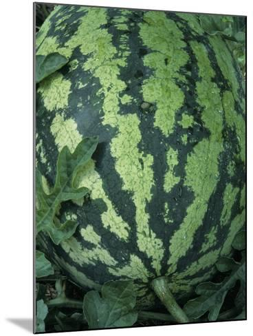 A Ripe Sweet Favorite Variety Watermelon-Wally Eberhart-Mounted Photographic Print