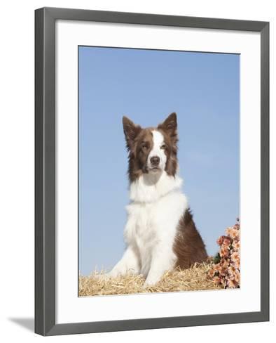 Border Collie Sitting on Straw-Cheryl Ertelt-Framed Art Print