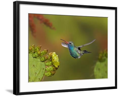 Broad-Billed Hummingbird (Cynanthus Latirostris) Approaching a Prickly Pear Cactus Bloom-Don Grall-Framed Art Print