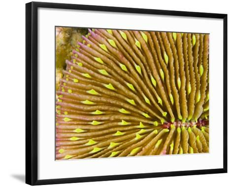 Mushroom Coral (Fungia Scutaria) Is Unique in the Coral World in That it Does Not Attach Itself-David Fleetham-Framed Art Print