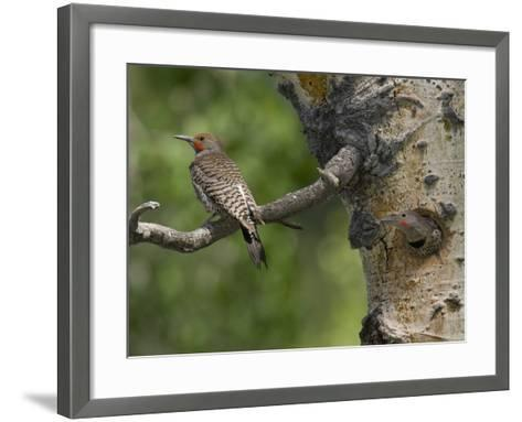 Red-Shafted Flickers (Colaptes Auratus) at the Nest Hole in an Aspen Tree-Don Grall-Framed Art Print