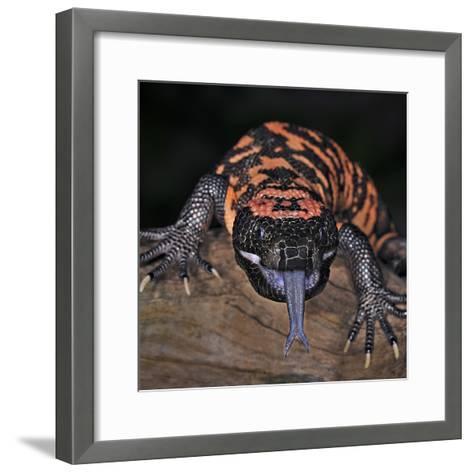 Gila Monster (Heloderma Suspectum), Captive-Michael Kern-Framed Art Print