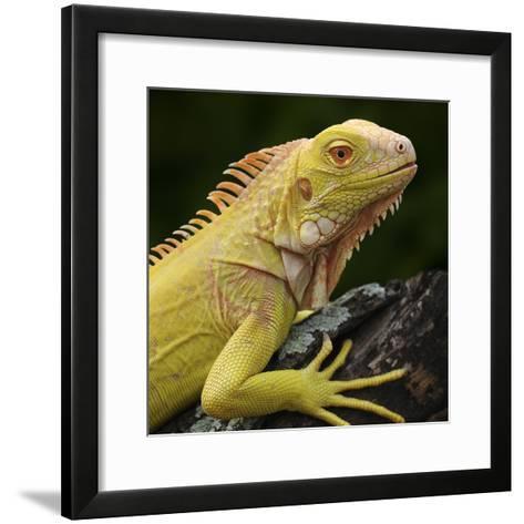 Albino Iguana (Iguana Iguana), Captive-Michael Kern-Framed Art Print