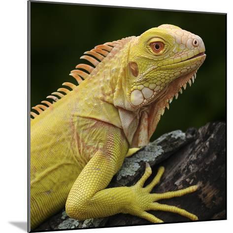 Albino Iguana (Iguana Iguana), Captive-Michael Kern-Mounted Photographic Print