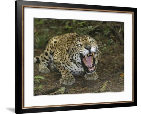 A Crouched and Aggressive Jaguar with Open Mouth, Showing its Sharp Teeth (Panthera Onca), Belize-Thomas Marent-Framed Art Print