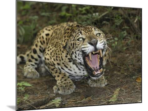 A Crouched and Aggressive Jaguar with Open Mouth, Showing its Sharp Teeth (Panthera Onca), Belize-Thomas Marent-Mounted Photographic Print