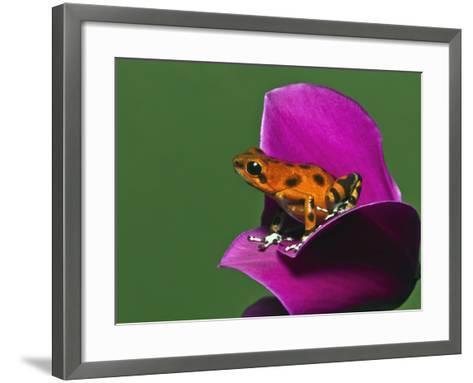 Strawberry Poison Dart Frog (Oophaga Pumilio)-Adam Jones-Framed Art Print