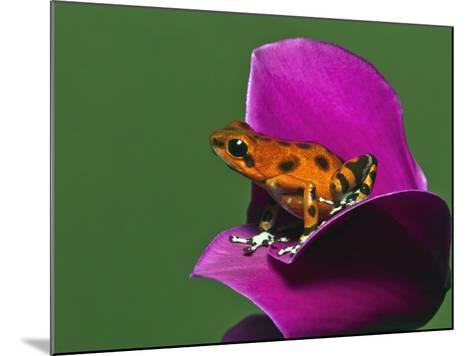 Strawberry Poison Dart Frog (Oophaga Pumilio)-Adam Jones-Mounted Photographic Print