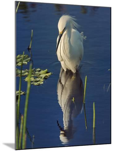 Snowy Egret, Egretta Thula, Wakodahatchee Wetlands, Delray Beach, Florida-Adam Jones-Mounted Photographic Print