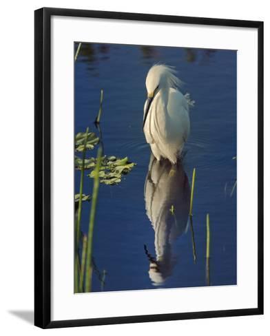 Snowy Egret, Egretta Thula, Wakodahatchee Wetlands, Delray Beach, Florida-Adam Jones-Framed Art Print