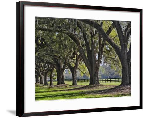 Stately Live Oak Trees Draped in Spanish Moss, Boone Hall Plantation-Adam Jones-Framed Art Print