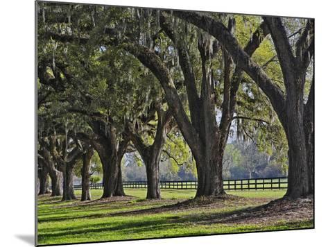 Stately Live Oak Trees Draped in Spanish Moss, Boone Hall Plantation-Adam Jones-Mounted Photographic Print