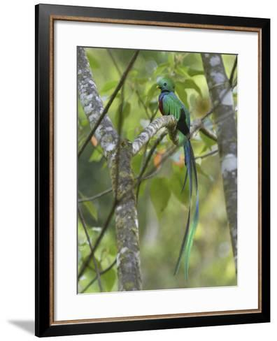 Resplendent Quetzal Male (Pharomachrus Mocinno), Cierro La Muerte, Costa Rica-Thomas Marent-Framed Art Print