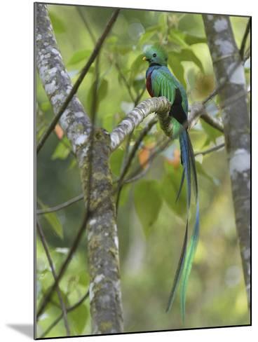 Resplendent Quetzal Male (Pharomachrus Mocinno), Cierro La Muerte, Costa Rica-Thomas Marent-Mounted Photographic Print