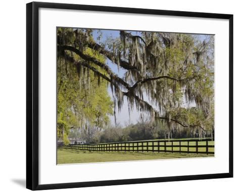 Live Oak Trees Draped in Spanish Moss, Boone Hall Plantation, Mount Pleasant, Christ Church Parish-Adam Jones-Framed Art Print